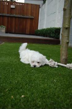 honden-en-kunstgras