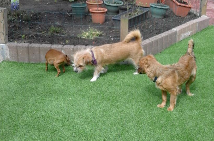 kunstgras-hond